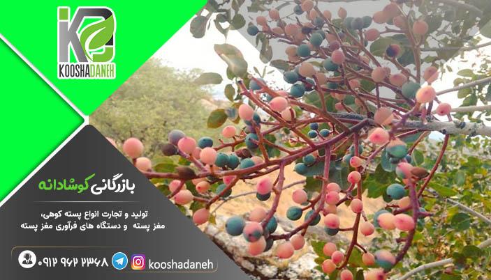 راهنمایی خرید مغز بنه شیراز