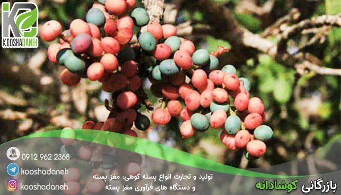 بازار تولید پسته کوهی خام ایران